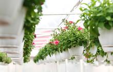 Blooming Petunias. Potted Flow...