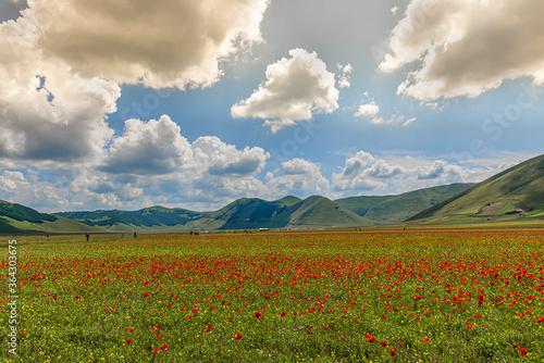 Fototapeta La fioritura della lenticchia nell'altipiano di Castelluccio di Norcia, per parco dei Monti Sibillini obraz na płótnie