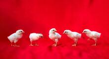 5 Little Baby Hamburg Chicken ...
