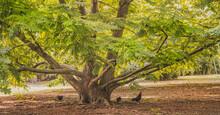Skrzydłorzech Kaukaski (Pterocarya Fraxinifolia ) – Gatunek Drzewa Z Rodziny Orzechowatych. Występuje Na Zakaukaziu W Armenii, Azerbejdżanie, Gruzji, Rosji Oraz W Północnej Turcji I Iranie.