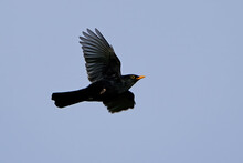 Blackbird (Turdus Merula) In Its Natural Enviroment