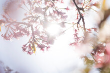 桜の花びらから太陽の...