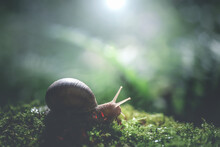 Burgundy Snail On Moss In The ...