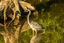 A Great Blue Heron Stalks A Wetland Marsh In Summer.