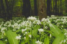 Allium Ursinum Or Bear's Garli...