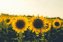 Two Sunflowers In A Filed