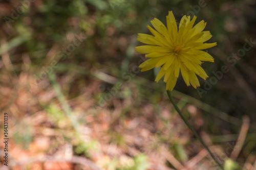 Fototapeta kwiat żółty łodyga makro lato obraz
