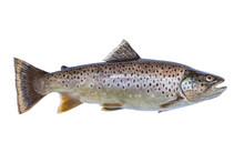 Brown Trout Isolated On White Background