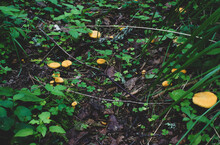 Chanterelle Cantharellus Cibarius Is A Golden Chanterelle Mushroom Growing In The Autumn Forest, The Background Of The Forest Cover