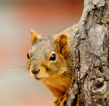 Fox Squirrel On A Wooden Stump