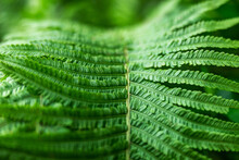 Fern In The Forest As A Backgr...