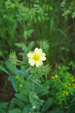 Dainty Yellow Wildflower- Sulfur Cinquefoil / Roughfruit Cinquefoil / Potentilla Recta Blooming In The Summer