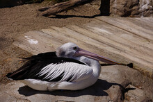 Black And White Pelican Restin...