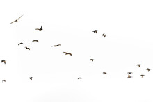 Silhouette Of Flying Pelicans ...