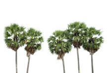 Sugar Palm Tree Isolated On Wh...