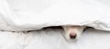 Fototapeta Kawa jest smaczna - Dog's nose sticks out from under white blanket. Empty space for text
