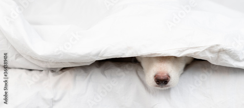 Dog's nose sticks out from under white blanket. Empty space for text