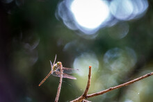 A Large Dragonfly Sits On A Branch On A Blurry Green Background.