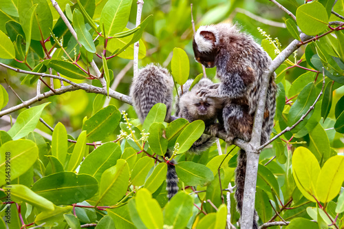 Common marmoset mother with youngsters sitting in a green leaved tree making bod Billede på lærred