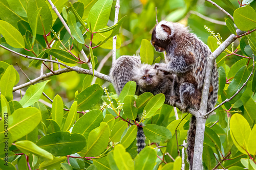Common marmoset mother with youngsters sitting in a green leaved tree making bod Fototapet