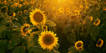 Sunflower Field At Sunset Clos...