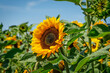 canvas print picture - Sonnenblume Nahaufnahme