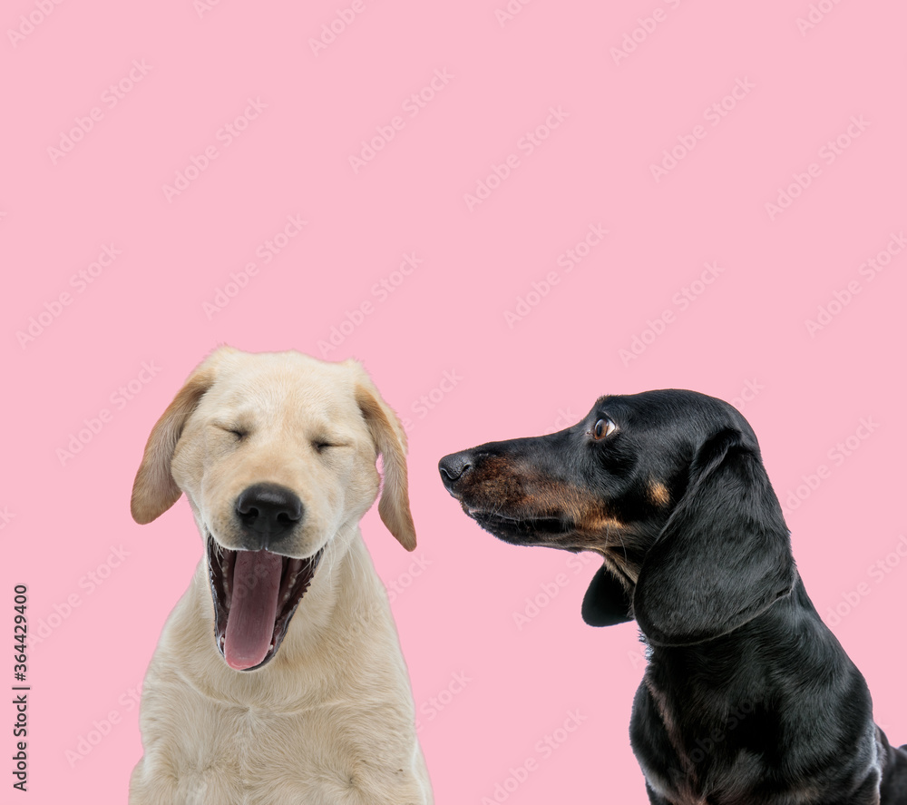 Fototapeta team of labrador retriever and teckel dachshund