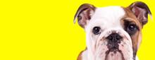 Bothered English Bulldog Cub L...