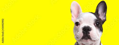 Fototapeta Eager French Bulldog cub curiously looking forward obraz