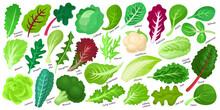 Lettuce And Salad Cartoon Vect...