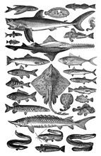 Big Fish Collection Of All Types Of Fish / Vintage And Antique Illustration From Petit Larousse 1914