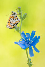 Butterfly On Blue Flower At Morning (Melitaea Didyma)