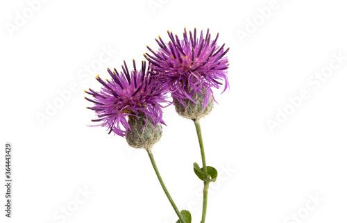 Tela burdock flower isolated