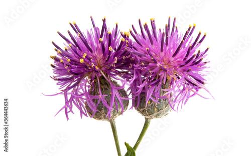 Fotomural burdock flower isolated