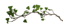 Ceylon Creeper Foliage Isolated On White Background, Clipping Path, Hedera Helix