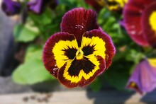 Purple And Yellow Garden Pansy