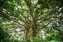 Big Tropical Gajumaru Tree