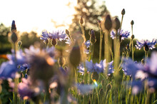 Blooming Cornflowers. Wild Blu...