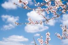 Closeup Shot Of Blooming Cherr...