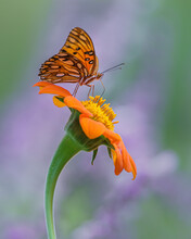 Gulf Fritillary Butterfly (Agraulis Vanillae) Perched On Mexican Marigold Flower