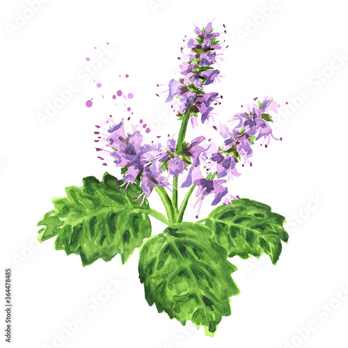 Fototapeta Plant patchouli or Pogostemon cablini branch with flowers and leaves, Hand drawn watercolor illustration isolated on white background obraz