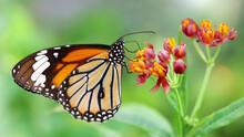 Elegant Orange Monarch Butterf...