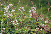Blackberry Bush With Buds, Whi...