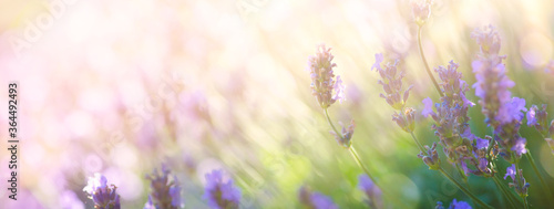 Summer floral landscape; beautiful summer lavender flower against evening sunny sky; nature landscape background.