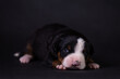 Portrait of a cute little puppy in the studio on a grey background.