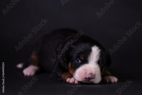Obraz Portrait of a cute little puppy in the studio on a grey background. - fototapety do salonu