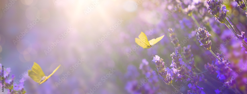 Fototapeta Art Summer floral landscape; beautiful summer lavender flower and fly butterfly against evening sunny sky; nature landscape background.