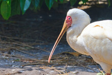 Head Shot Of A African Spoonbill Standing In The Sun