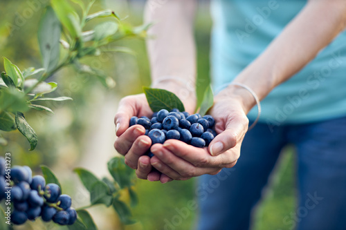 Fotografie, Obraz Modern woman working and picking blueberries on a organic farm - woman power business concept