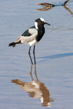 Blacksmith Lapwing Or Blacksmith Plover (Vanellus Armatus) By The Chobe River In Northern Botswana, Africa.